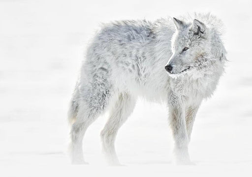 ARCTIC WOLF IN THE WHITE SNOW - EJAZ KHAN EARTH WILDLIFE PHOTOGRAPHY