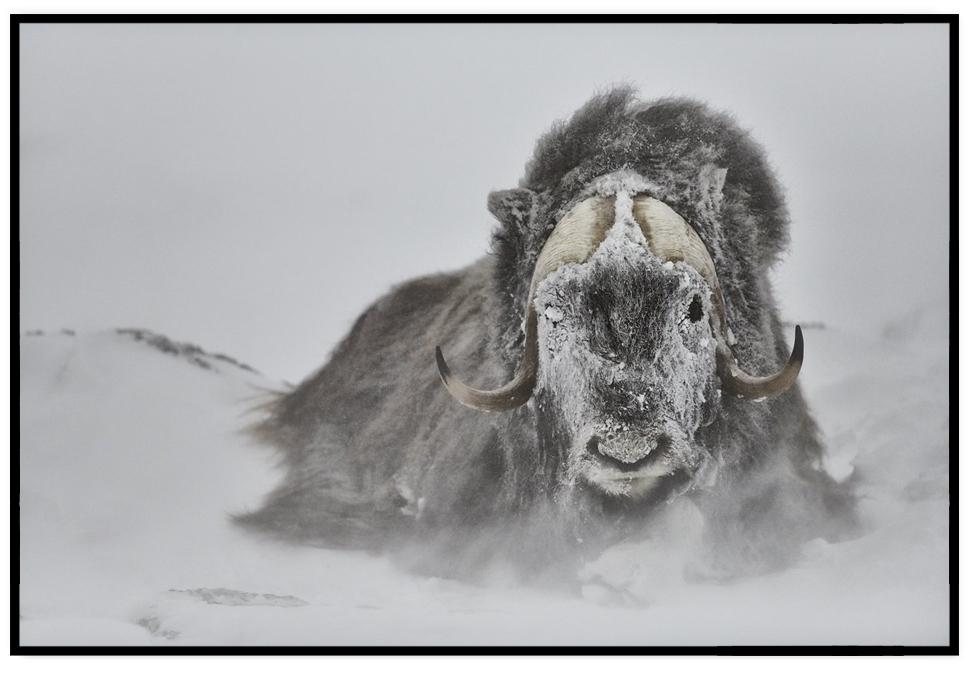 MUSK OX PRINT | MOTHER NATURE