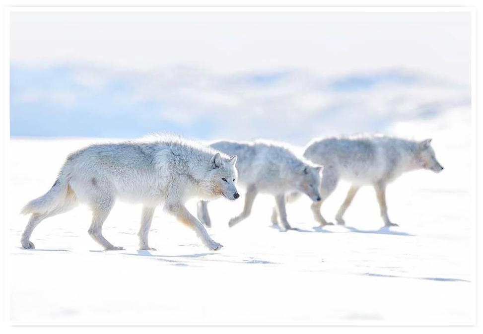 ARCTIC WOLF PRINT | ACTION SPEAK LOUDER THAN WORDS