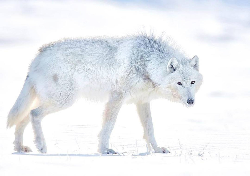 ARCTIC WOLF PRINT | MIRACLES