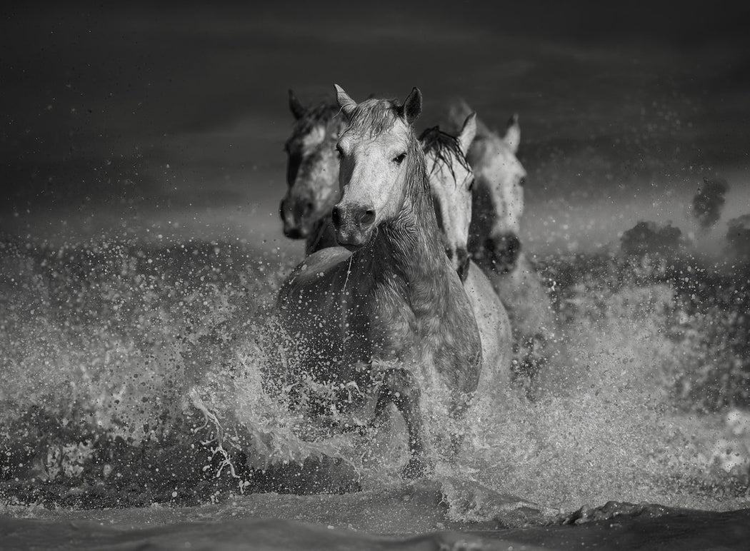 Four Horses in Water Black and White Photograph By Ejaz Khan