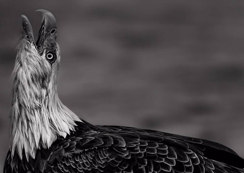 BALD EAGLE PRINT | QUIET TIMES - EJAZ KHAN EARTH