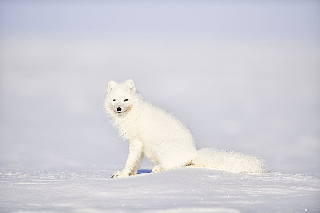 ARCTIC FOX PRINT | GAZE - EJAZ KHAN EARTH