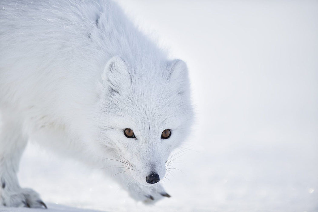 ARCTIC FOX PRINT | VIGILANT - EJAZ KHAN EARTH