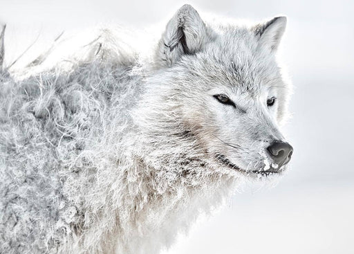 ARCTIC WOLF PRINT | IGNORANCE - EJAZ KHAN EARTH
