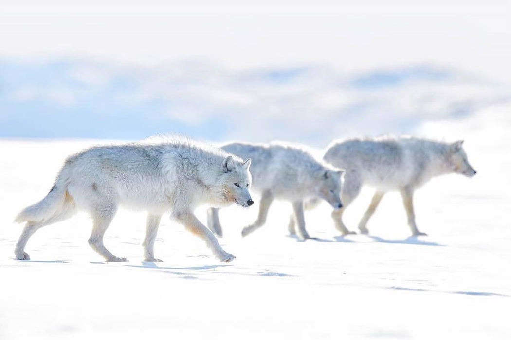 ARCTIC WOLF PRINT | ACTION SPEAK LOUDER THAN WORDS - EJAZ KHAN EARTH