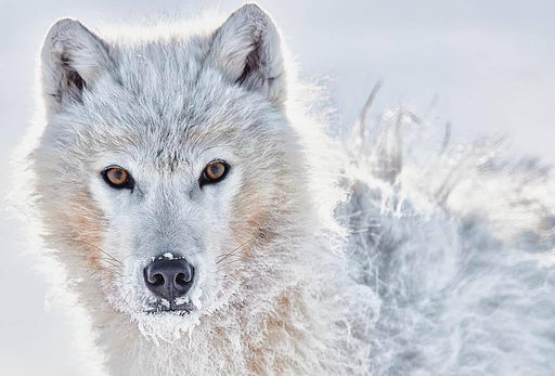 ARCTIC WOLF PRINT | PERCEPTION - EJAZ KHAN EARTH