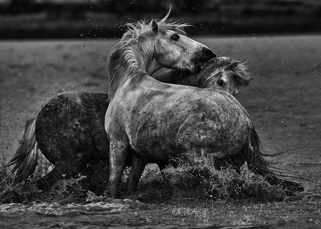 Black and White Photography Art Prints of two horses playing By Ejaz Khan Earth