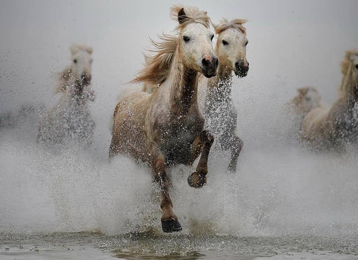 Wild Horses Running in Water | Full Color Photograph | Wildlife Artist Ejaz Khan