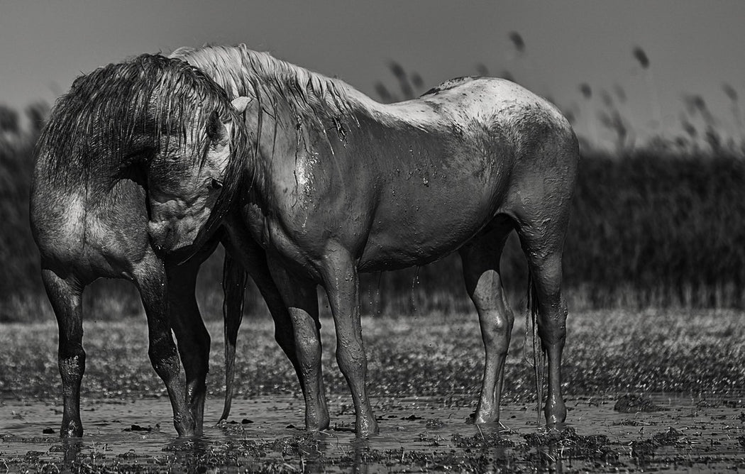 Equestrian Black and White Photography by Wildlife Artist Ejaz Khan