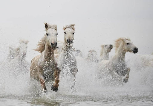 Color Photo of Horses Running in Water | Wildlife Photography | Large Art Prints by Ejaz Khan Earth