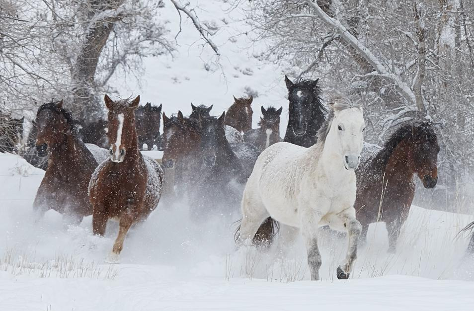 Horses in the snow Print on sale online and at our New York Art Gallery | Photograph By Ejaz Khan