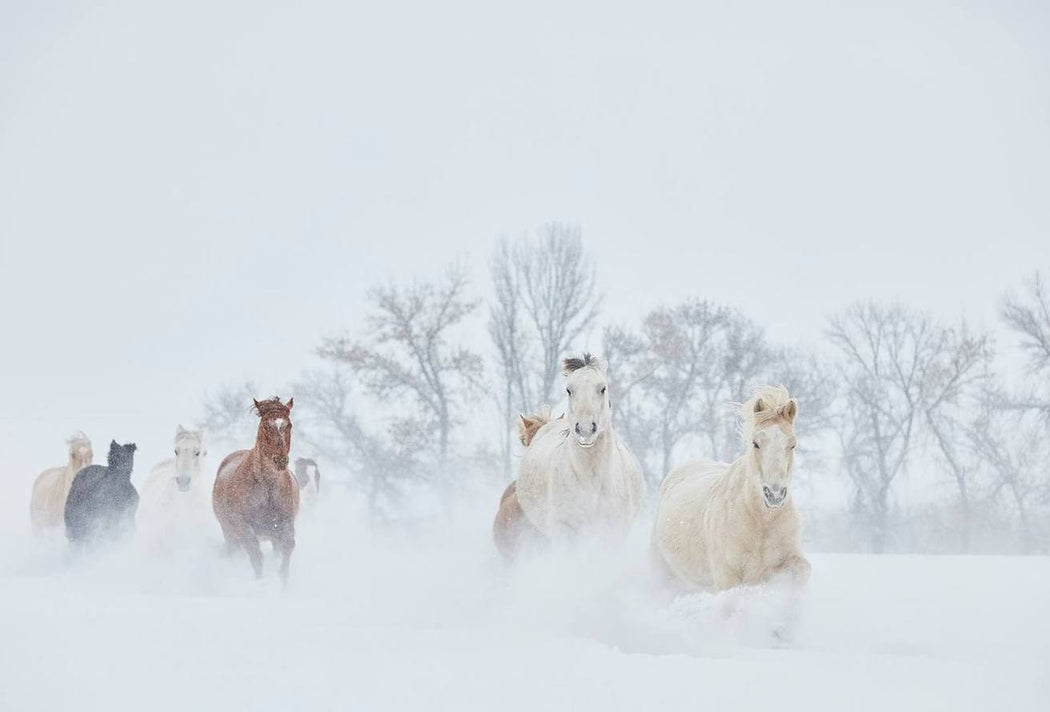Art Print Of Horses in Snow | Ejaz Khan Earth 2018
