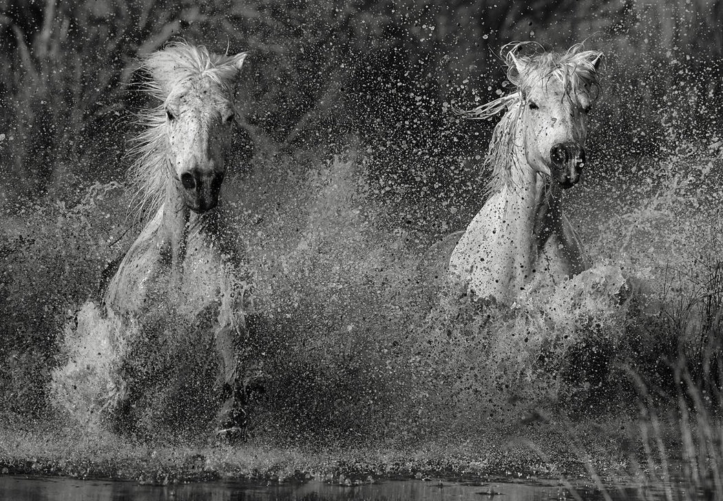 Black and White Photo of Two Running Horses in Water | Visit our Art Gallery in NYC | Ejaz Khan 2018