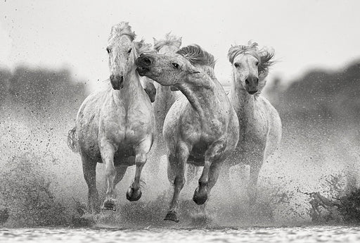 Wild Mustang Biting Another Horse | Limited Black and White Photo Print by Ejaz Khan