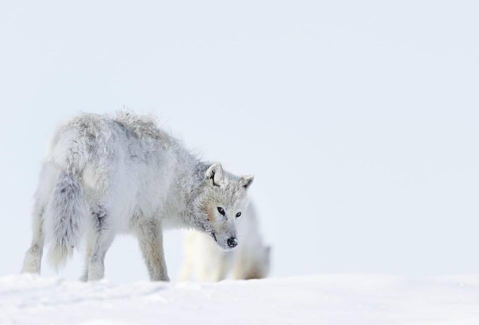 ARCTIC WOLF PRINT | THE LAST LOOK - EJAZ KHAN EARTH