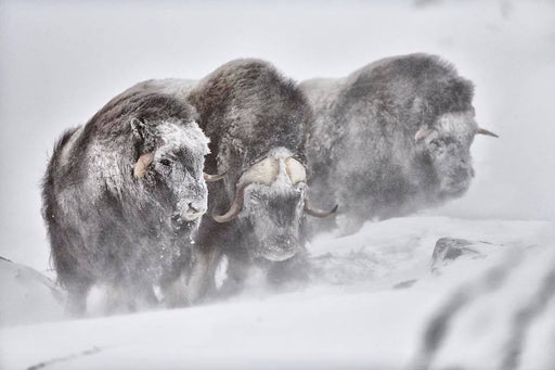 MUSK OX PRINT | STANDING TOGETHER - EJAZ KHAN EARTH