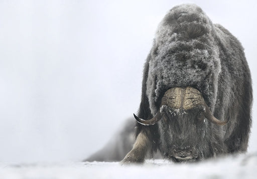 MUSK OX PRINT | JUDGING - EJAZ KHAN EARTH