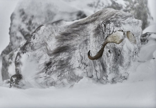 MUSK OX PRINT | SHIELD - EJAZ KHAN EARTH