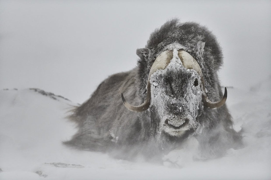 MUSK OX PRINT | MOTHER NATURE - EJAZ KHAN EARTH