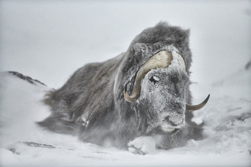 MUSK OX PRINT | HEROES - EJAZ KHAN EARTH