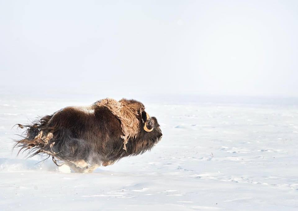 MUSK OX PRINT | IN THE MOMENT - EJAZ KHAN EARTH