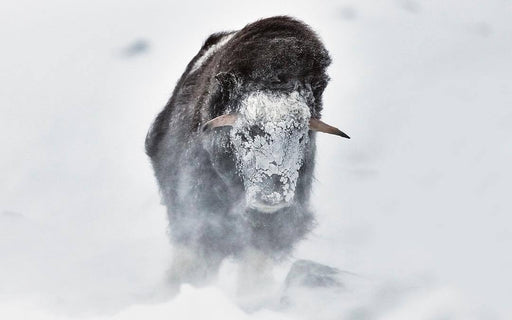 MUSK OX PRINT | A WISH - EJAZ KHAN EARTH