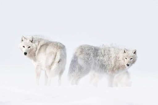 ARCTIC WOLF PRINT | IN THE MOMENT - EJAZ KHAN EARTH