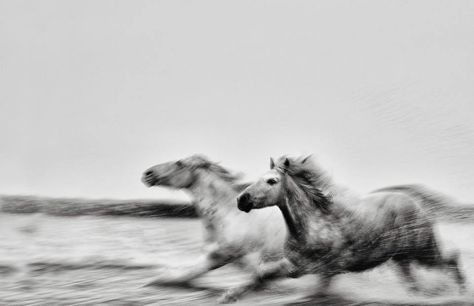 Exclusive Black and White Print of Horses running in water by Ejaz Khan