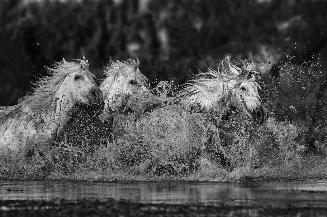 Horses splashing in the water - Black and White Art Print - By Ejaz Khan