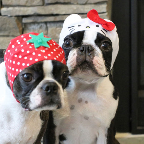 two bostonterrier dogs wearing fruit hat and hello kitty hat