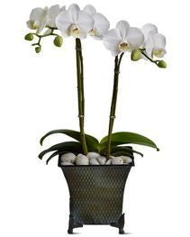 Large Double White Orchid