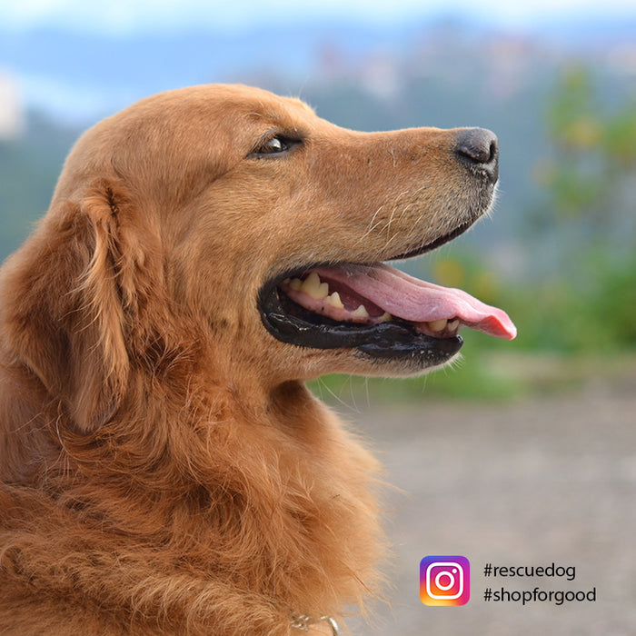Seeking a cure for our companions: the Golden Retriever Lifetime Study