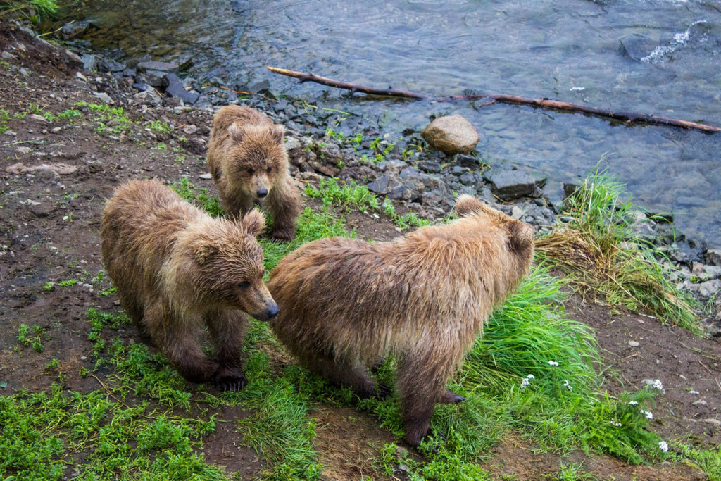 Katmai National Park - Brooks Falls - Bear Cubs