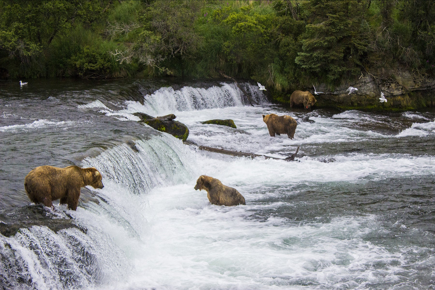 Katmai National Park - Brooks Falls - Bears Fishing