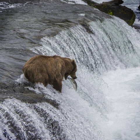 Brooks Falls - Bear Catching Fish