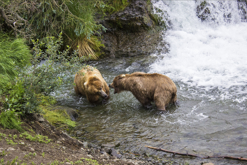 Katmai National Park - Brooks Falls - Bear Fight