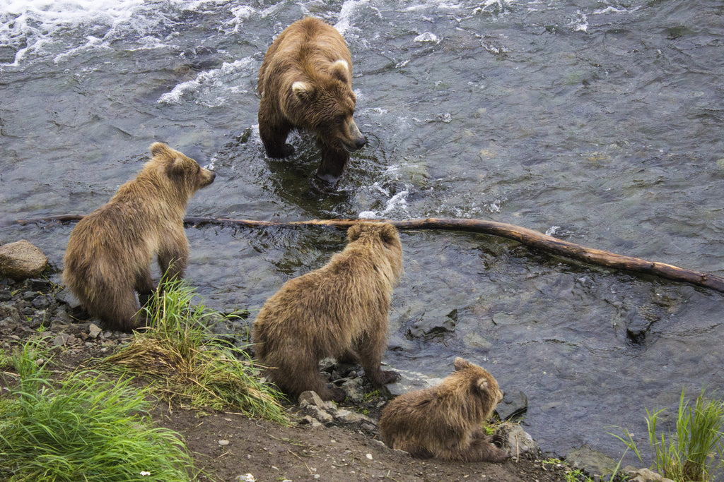 Katmai National Park - Brooks Falls - Mama Bear and Cubs