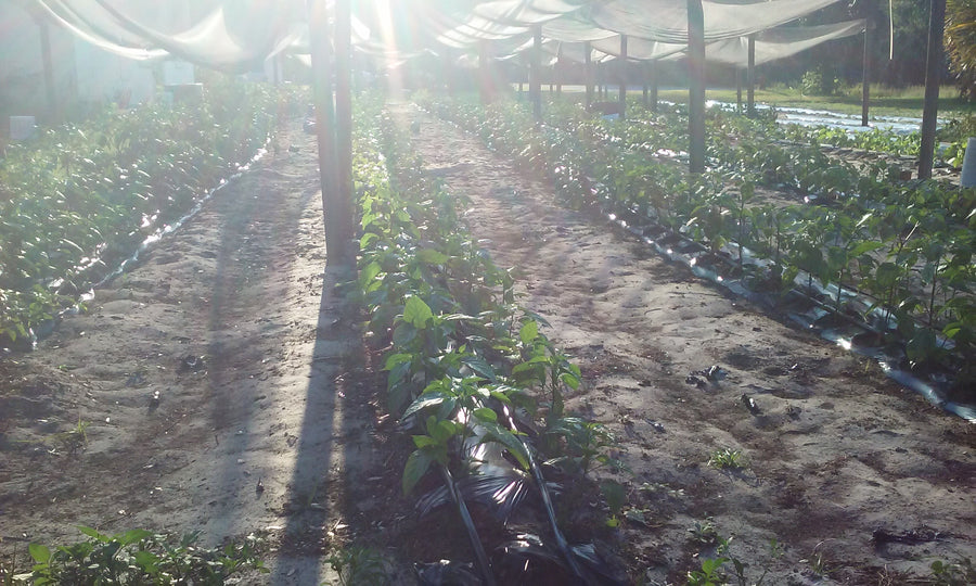 ghost peppers plants one of the hottest peppers in the world growing in florida, by a father and son farm that grows the hottest peppers in the world for pepperheads to enjoy nationwide