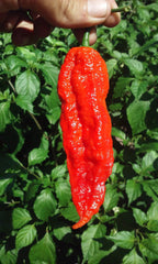 Ghost peppers - fresh | 16oz pack - shop the hottest peppers in the world online 24/7, Fresh peppers - ghost peppers worlds hottest pepper products, Ghostpepperfarms - ghostpepperfarms