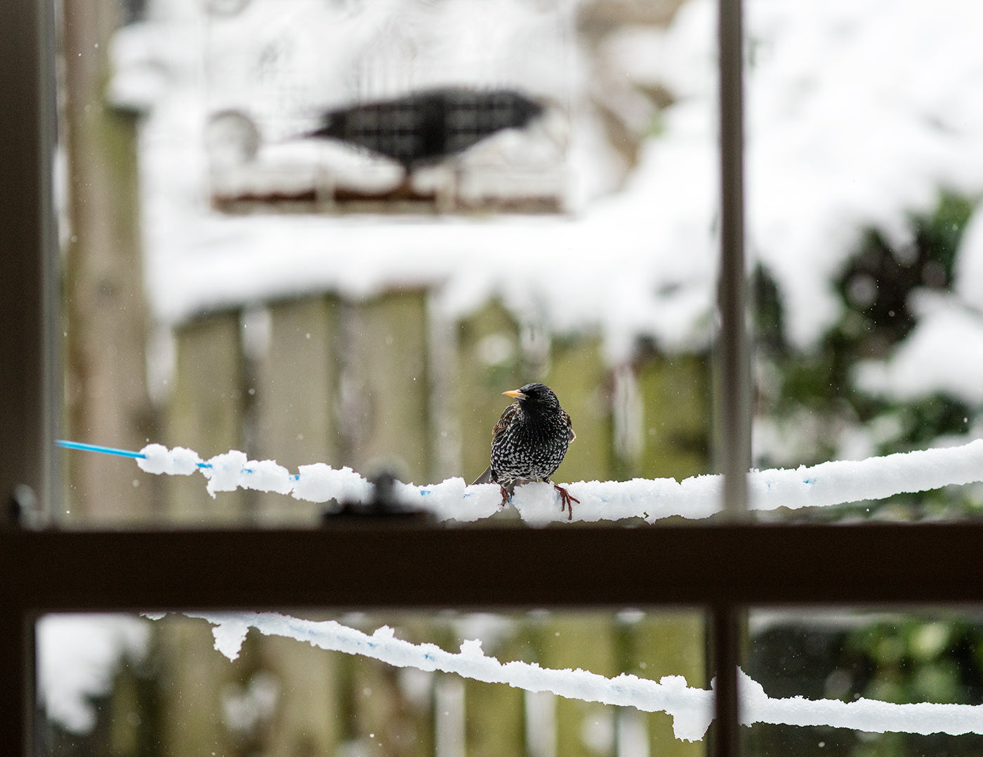 Starlings through a window
