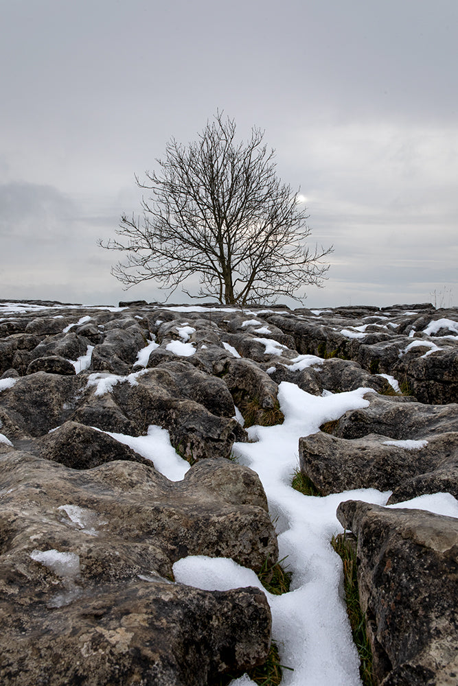 Malham Cove, Limestone pavement tree in snow