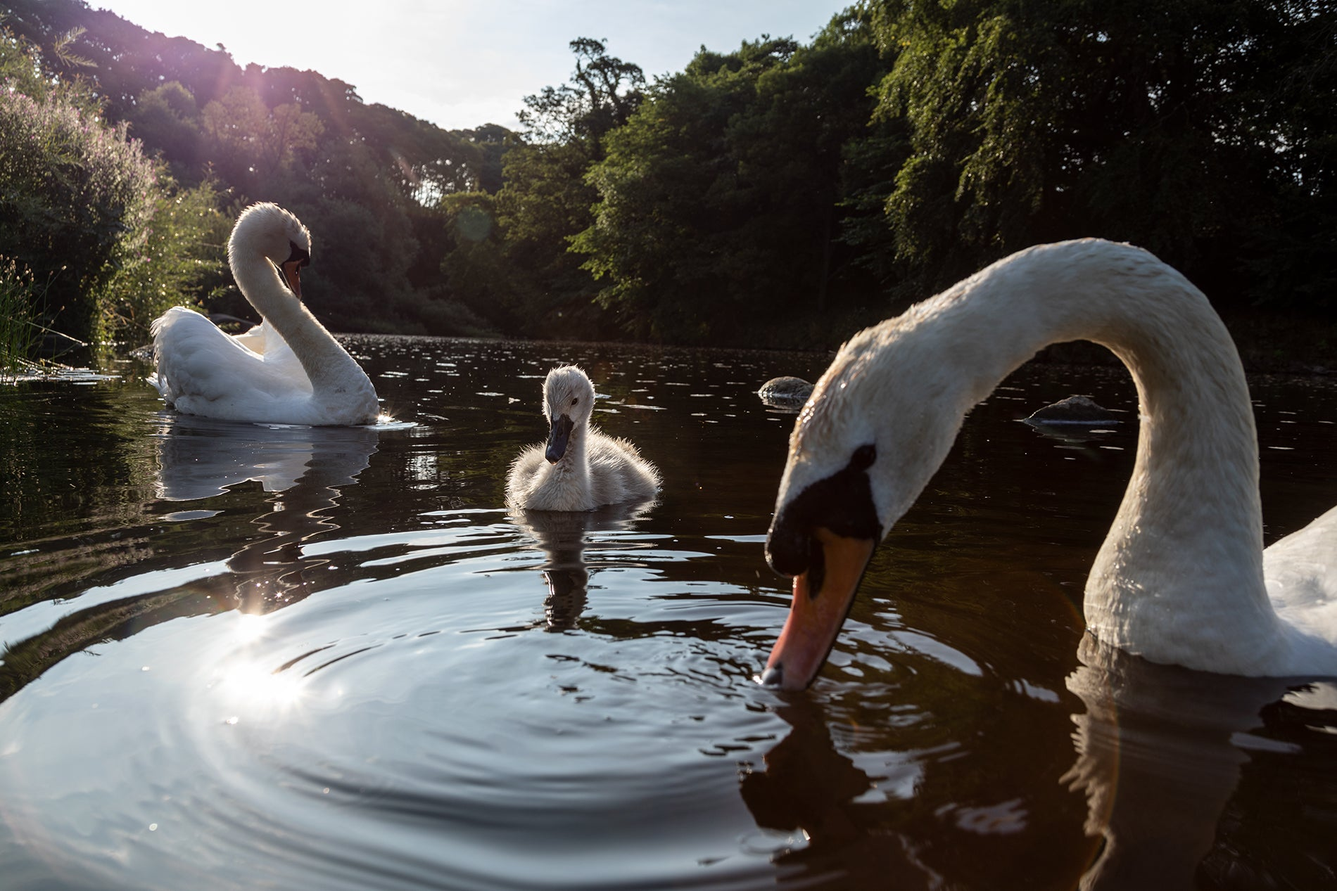 Swans on the River Wharfe