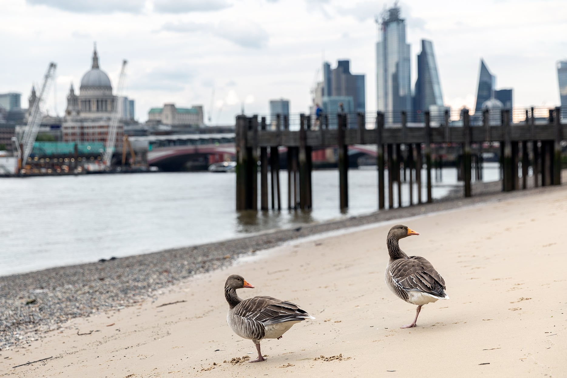 Greylag Goose by the City of London