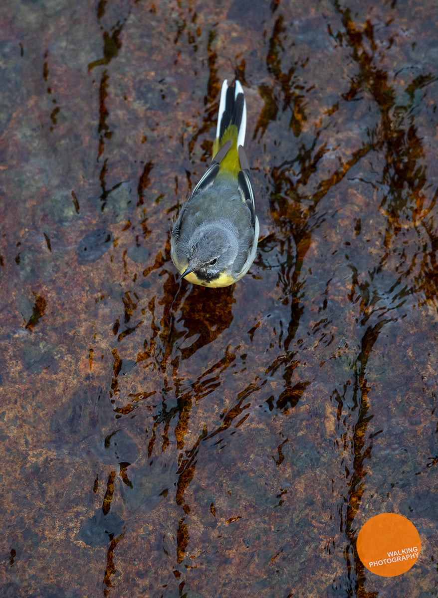 Grey Wagtail from above on River Wharfe