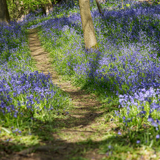 Featured Photo Walk: Bluebells