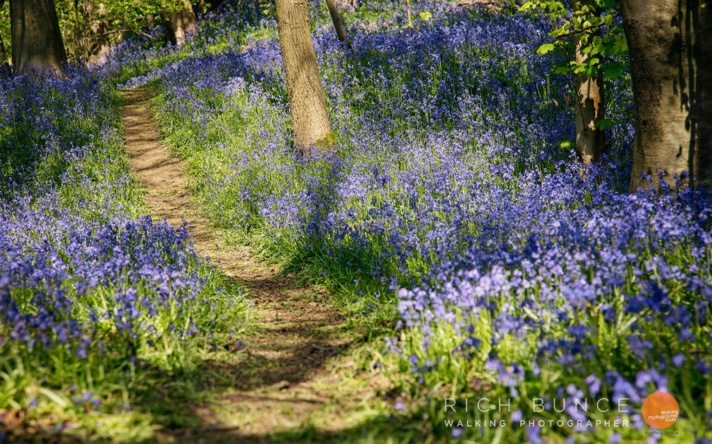 Bluebells light