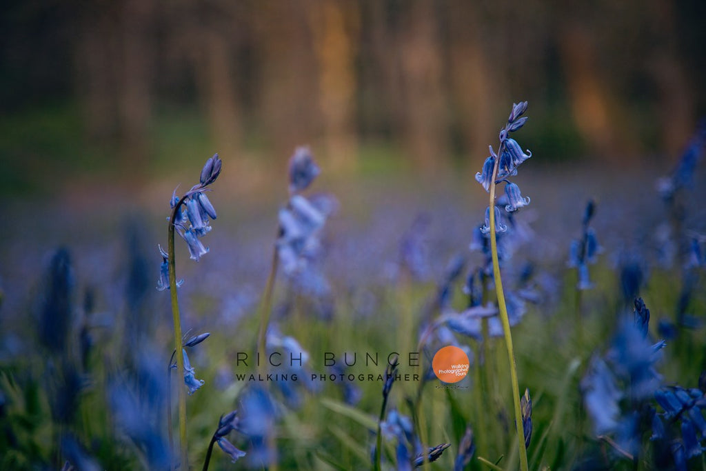Bluebells background