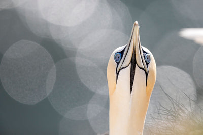 Gogglebox (Inquisitive Gannet)