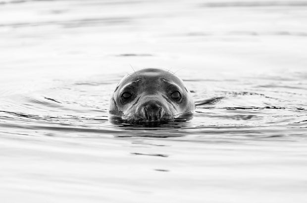 Big Eyes | Common Seal Portrait